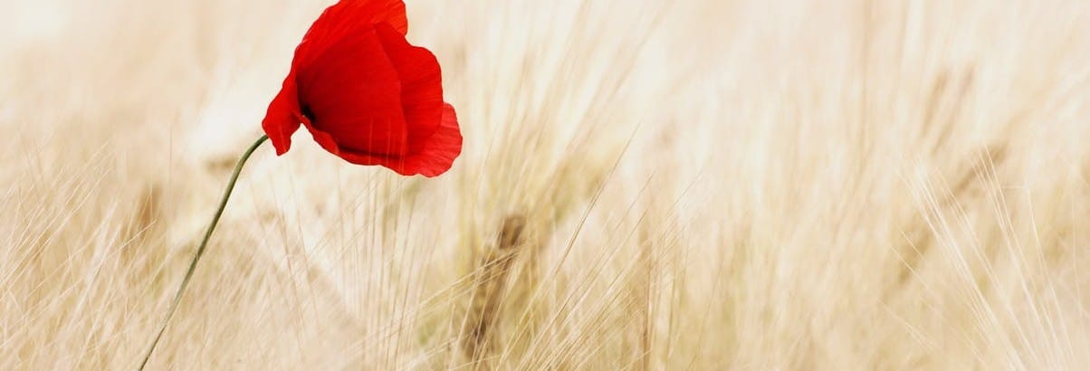 blooming poppy against field of wheat